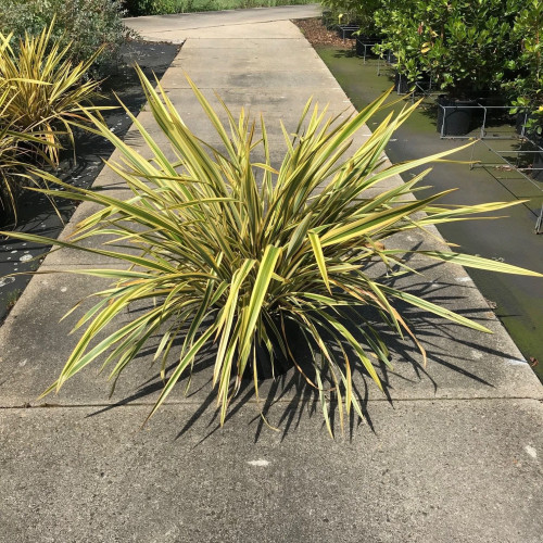 Phormium 'Golden Ray' 60-80cm planted height in 20lt pot  - SOLD OUT UNTIL SUMMER 2021