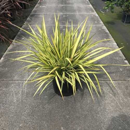 Phormium 'Yellow Wave' 60-80cm planted height in 20lt pot  - SOLD OUT UNTIL SUMMER 2021