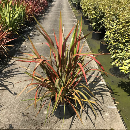 Phormium tenax 'Emerald Pink' 80-100cm planted height in 20lt pot  - SOLD OUT UNTIL SUMMER 2021