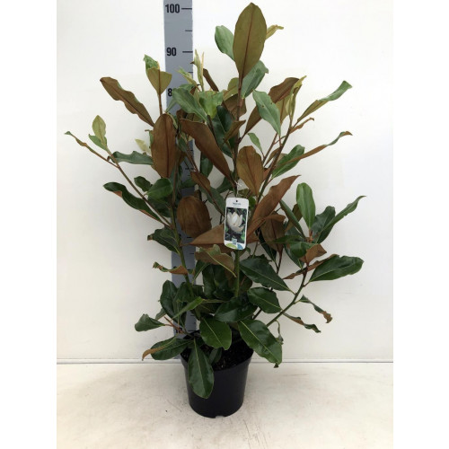 Magnolia Grandiflora 'Nannetensis' 10lt pot 110cm including height of the pot