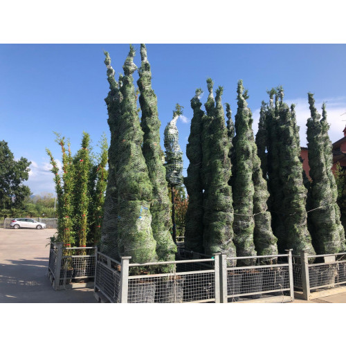 Leylandii Green Large (450-500CM) 15-16FT High Plant Height