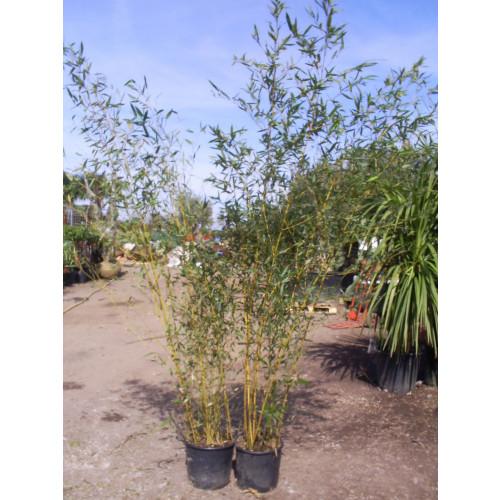 Bamboo Phyllostachys Aureosulcata Spectabilis 230cm / 8ft including pot height