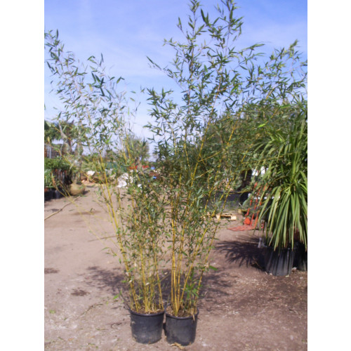 Bamboo Phyllostachys Aureosulcata Aureocaulis 230cm / 8ft including pot height