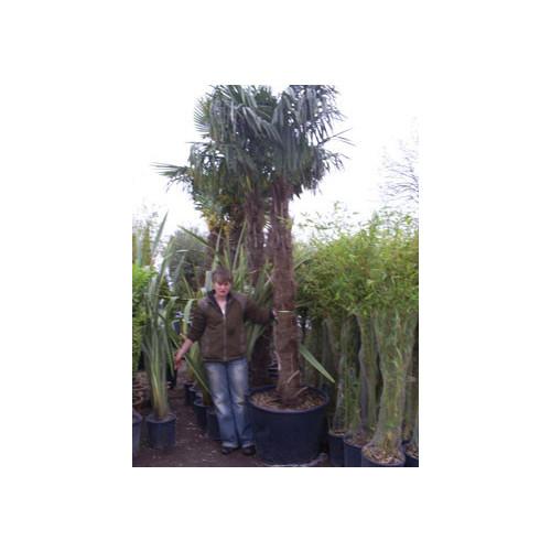 Trachycarpus Fortuneii Chusan Palm 335cm / 11ft including pot height (trunk 160/180cm)
