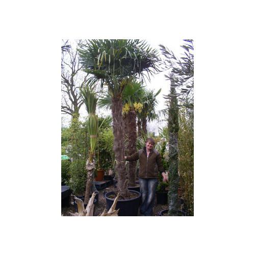 Trachycarpus Fortuneii Chusan Palm 365cm / 12ft  including pot height (trunk 180/200cm)