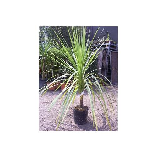 Cordyline Australis Cabbage Palm 120cm / 4ft  single stem including pot height