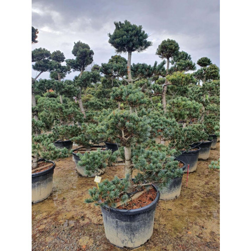 Pinus Pentaphylla 250cm / 8ft tall including height of the pot