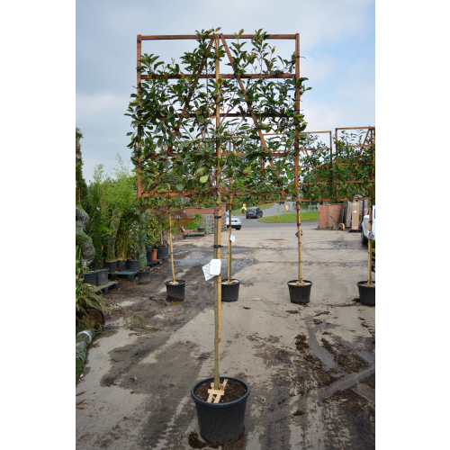 Photinia 'Red Robin' 1.5 Metre Clear Stem 8/10cm girth 120cm x 120cm Trellis - SOLD OUT - TAKING ORDERS FOR SEPTEMBER