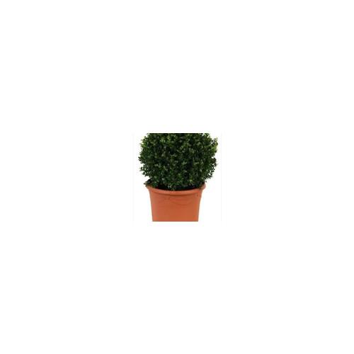 Ilex Crenata Japanese Holly Or Box Leaf Holly 30cm diameter