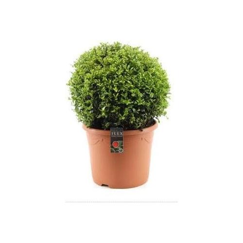 Ilex Crenata Japanese Holly Or Box Leaf Holly 35cm diameter