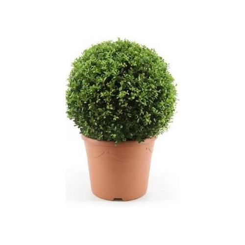 Ilex Crenata Japanese Holly Or Box Leaf Holly 40cm diameter