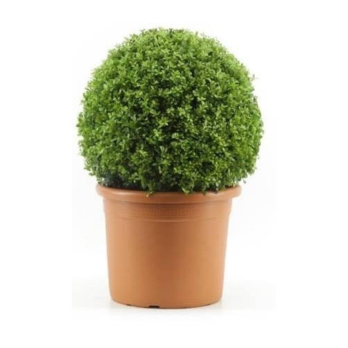 Ilex Crenata Japanese Holly Or Box Leaf Holly 45cm diameter