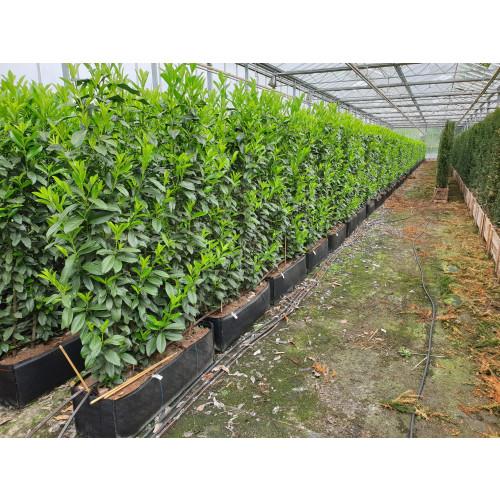 Hedging Element Prunus lau. 'Genolia' (100cm wide x 160cm tall x30cm deep)