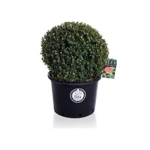 Ilex Crenata Japanese Holly Or Box Leaf Holly 50cm diameter