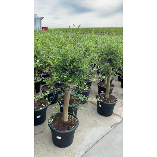 Olive Tree 5ft including pot height, 20/25cm girth