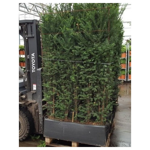 Hedging Element English Yew 'Taxus Baccata' (120cm wide x 160cm tall x30cm deep) - SOLD OUT - TAKING ORDERS FOR AUGUST 2021