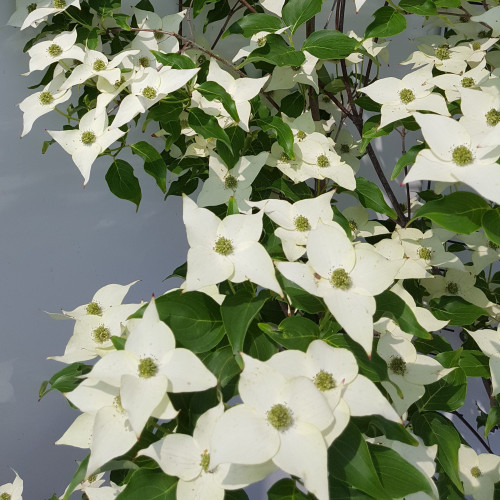Cornus Kousa 'Milky Way', 125/150, 25L Container - TAKING ORDER FOR MAY 2021