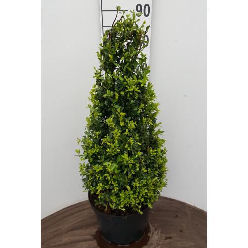 Ilex Crenata 'Maxima', Cone, 60-70cm, 15L container