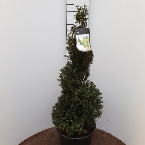 Taxus Baccata Spiral, 80 - 100cm planted height, 20L container