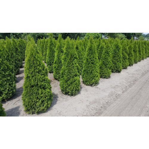 Thuja Occidentalis 'Smaragd' 125-150cm Rootballed - AVAILABLE NOW