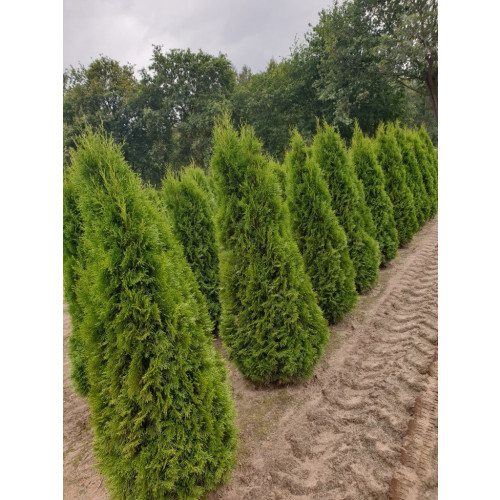 Thuja Occidentalis 'Smaragd' 150-175cm Rootballed - AVAILABLE NOW