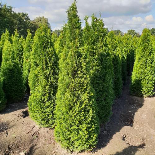Thuja Occidentalis 'Smaragd' 175-200cm Rootballed