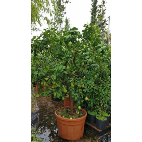 Lemon Tree 7 feet plus high including height of pot (trunk girth 25/30cm) - TAKING ORDERS FOR SUMMER