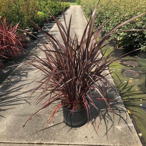 Phormium tenax 'Emerald Pink' 80-100cm planted height in 20lt pot