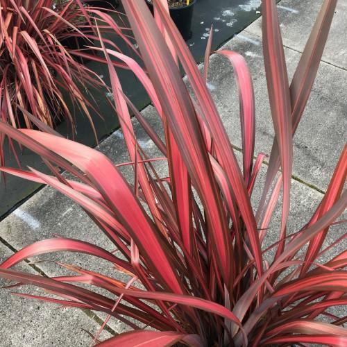 Phormium 'Evening Glow' 80-100cm planted height in 20lt pot