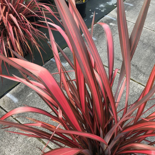 Phormium 'Evening Glow' 80-100cm planted height in 20lt pot  - SOLD OUT UNTIL SUMMER 2021