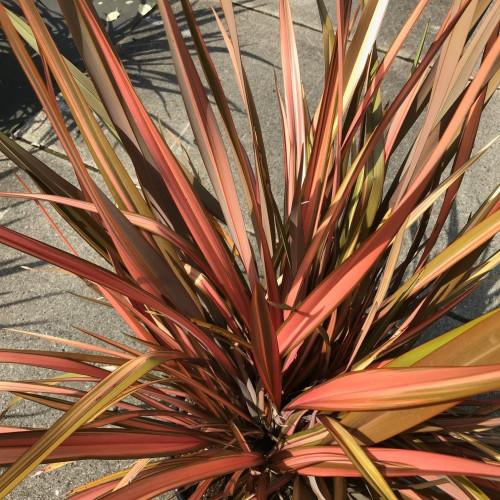 Phormium tenax 'Rainbow Maiden' 80-100cm planted height in 20lt pot