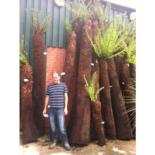 Tree Fern Dicksonia Antarctica 8ft - VERY LIMITED QUANTITY