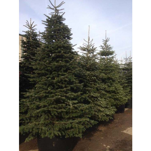 ABIES NORDMANNIANA 350/400cm Planted Height