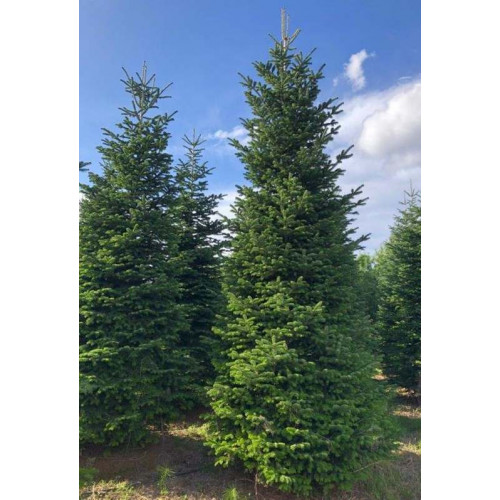 ABIES NORDMANNIANA 500/550cm Planted Height -  Rootball