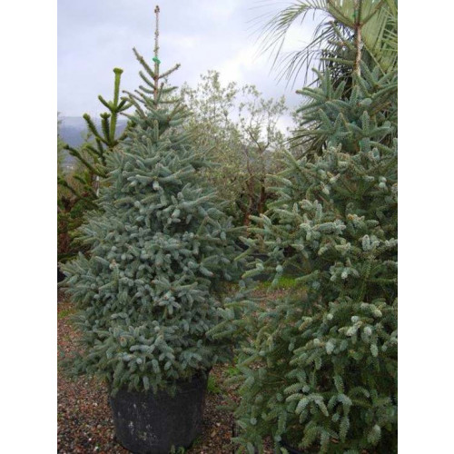 ABIES PINSAPO GLAUCA 175/200cm Planted Height