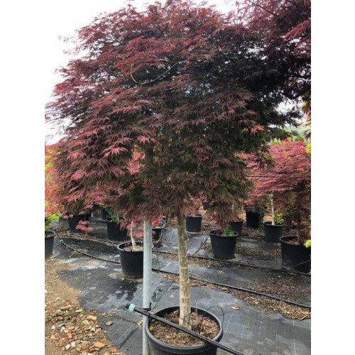 ACER PALM. DISS. ORANGEOLA OR