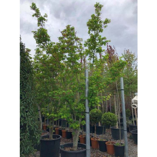 ACER PALM. HERBSTFEUER HF 300