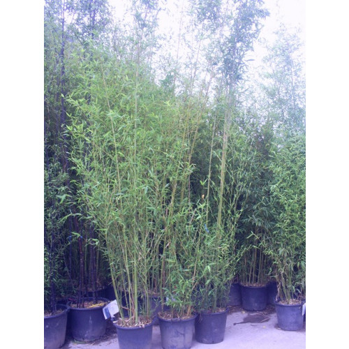 Gold Bamboo Phyllostachys Aurea, 300/350cm, EXCLUDING pot height