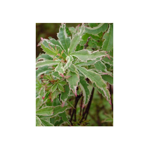 ACER PALMATUM BUTTERFLY  160cm high including height of pot