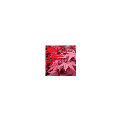 ACER PALMATUM RED EMPEROR    150cm including height of pot