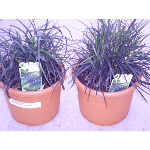 Ophiopogon Planiscapus Niger Black Grass