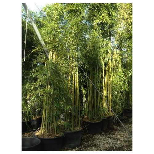 Phyllostachys Viridiglaucescens 30 feet high including height of pot