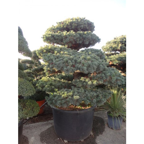 Bonsai Pinus Pentaphylla (Japanese White Pine) 230cm/7ft 6in high including pot