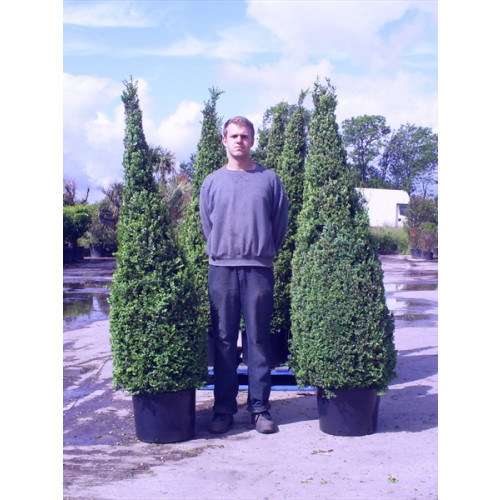 Box Buxus Cone 210cm/7ft inc height of pot