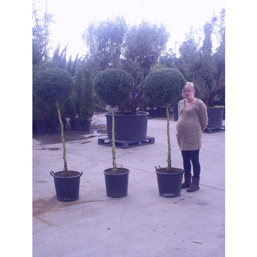 Box Buxus Ball on stem 6ft / 180cm includes pot height (head dia 40-50cm)