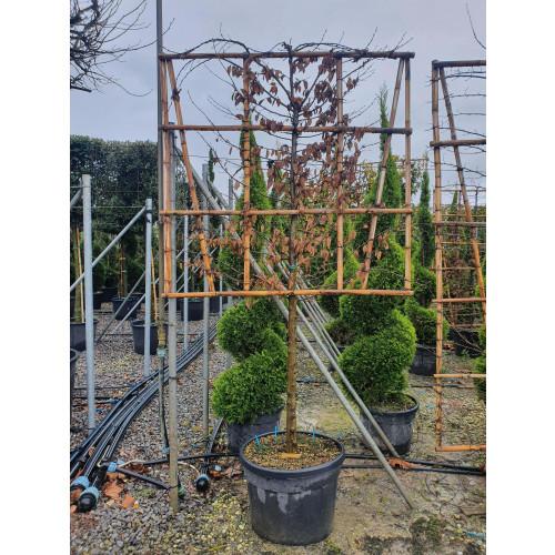 Pleached Hornbeam - Carpinus betulus, 100cm stem,  150x150cm Frame, 70L Container - EXTRA GRADE