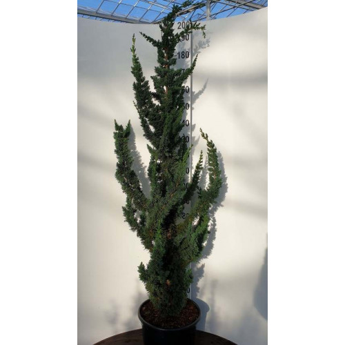 Chamaecyparis l. 'Wissel's Saguaro' 150-175 cm excluding height of the pot - NOW IN STOCK