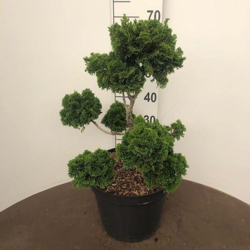 Chamaecyparis o. 'Nana Gracilis', 30-40 cm pompon C15
