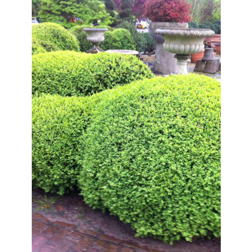 Cloud form Buxus hedging by sq meter 1.2-1.5m price per square meter