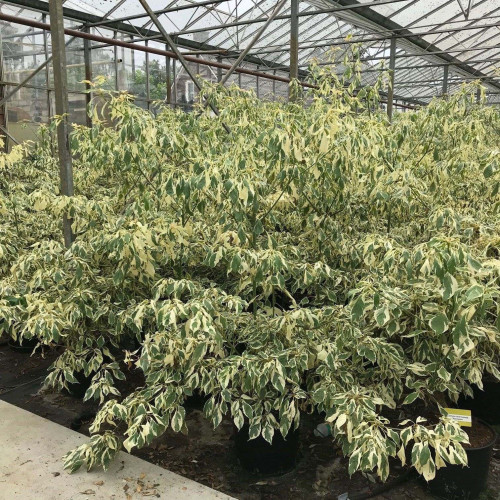 Cornus controversa 'Variegata' (Wedding Cake Tree) 150-175cm above soil, 20lt